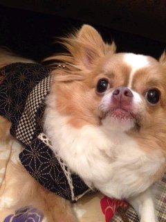愛犬のモカです。おしゃれしました。